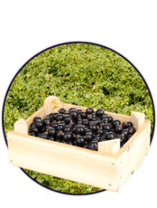 Product-BlackberryPunnet